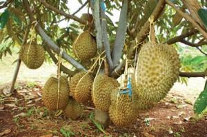 Durian Bagi Kesehatan