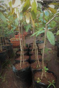Teknik Menanam Buah Durian